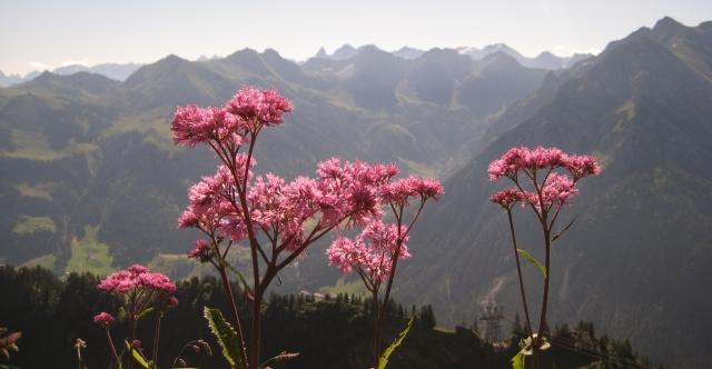 Alpine Wildflower (Adenostyles)--Hiltrud Liu--