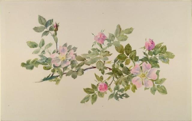 Ruskin--Study of Wild Roses--1871--Ashmolean
